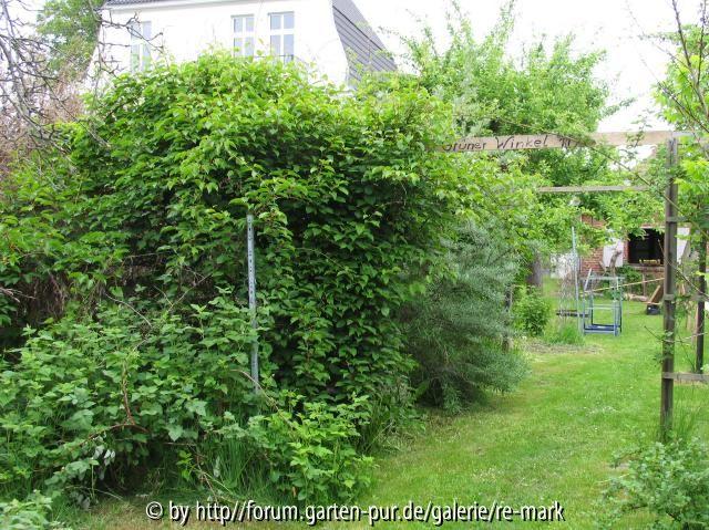Klettergerüst Für Pflanzen : Günstige rankhilfe für kiwis bauen